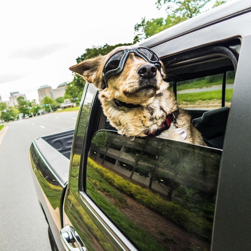 large dogs sunglasses